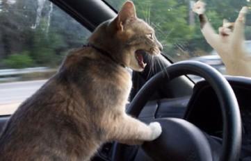 злой-водитель-за-рулём-кот